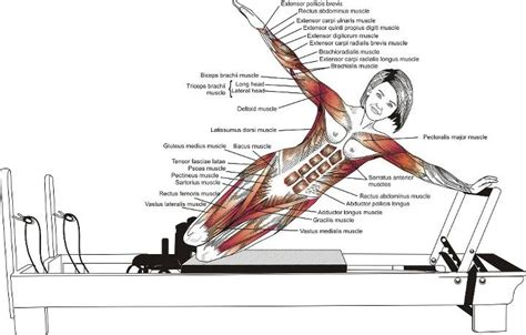 1000 images about muscular anatomy for pilates on yoga anatomy pilates moves and
