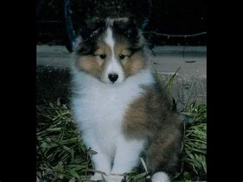 free puppies in chattanooga shetland sheepdog puppies dogs for sale in tennessee tn 19breeders