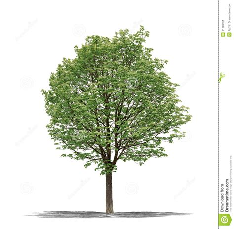 white or green tree green tree on a white background stock image image 31183591