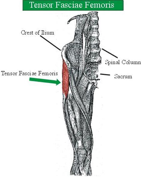 strengthening  thigh muscles ii