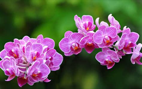 Salep Hd d 252 nyan莖n 莢lk 199 i 231 e茵i orkide aymoli