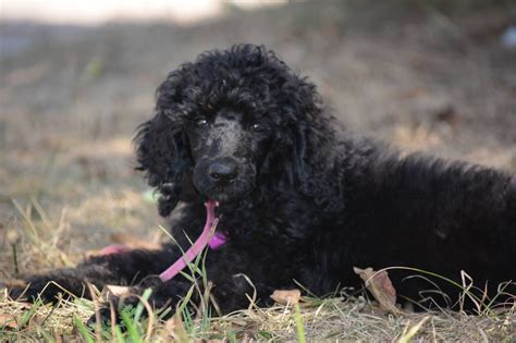 standard poodle puppies michigan standard poodle puppies grand rapids mi dogs our friends photo