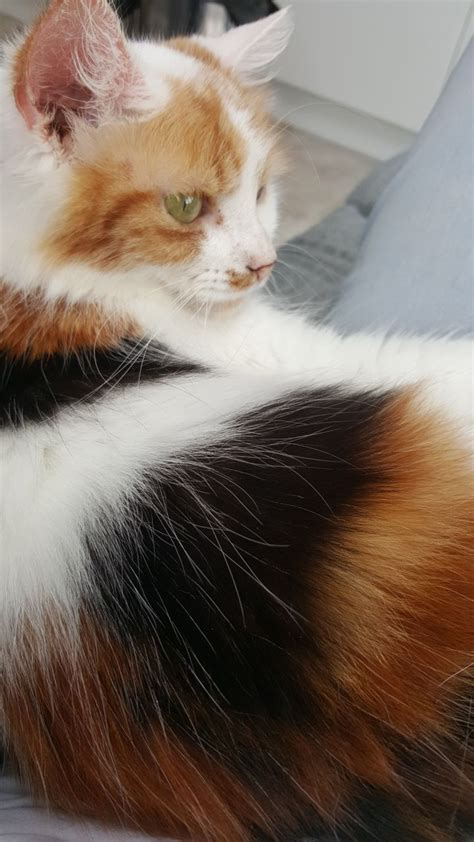 beautiful maine coon cross for adoption grimsby