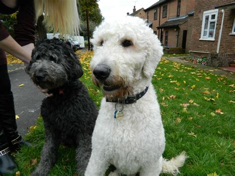 labradoodles puppies for sale labradoodle puppies for sale ware hertfordshire