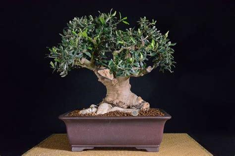 concime per olivo in vaso bonsai olivo bonsai come curare un bonsai di olivo