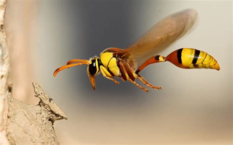 download wallpaper 1440x900 insect wasp close up hd background