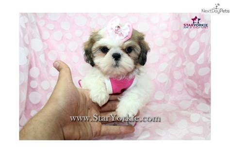 shih tzu puppies california teacup shih tzu puppies for sale in fresno ca