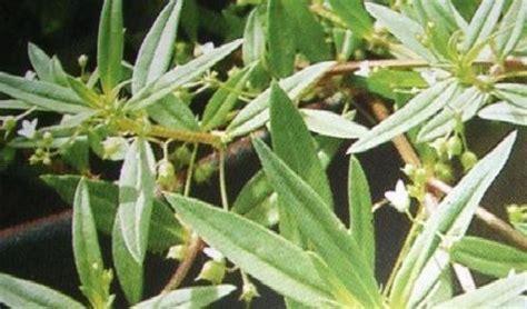 rumput mutiara sehatherbacom
