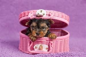 Pictures of yorkie dogs and puppies pets world