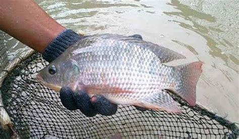 tips memelihara ikan nila  cepat besar  cepat panen