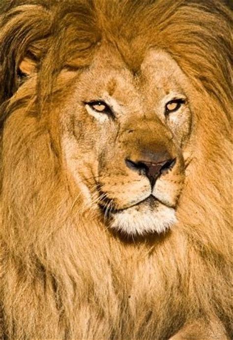 lion blumen african lion facts animal facts encyclopedia