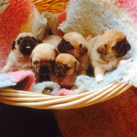 pug puppies for sale plymouth pug puppies plymouth pets4homes