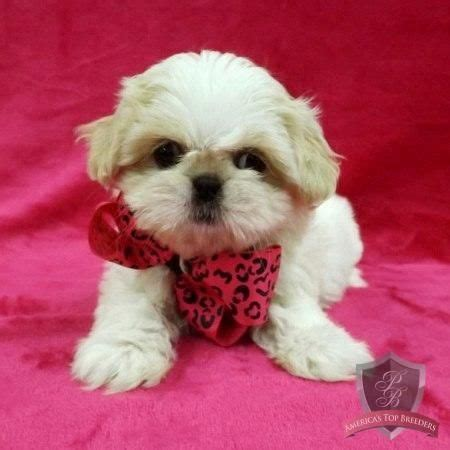 jersey shih tzu 17 best images about cuties on connecticut cavalier king charles and