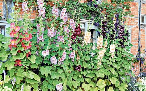 Cottage Plants by How To Grow Cottage Garden Plants Telegraph