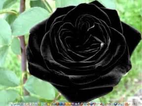 black flower roses black roses
