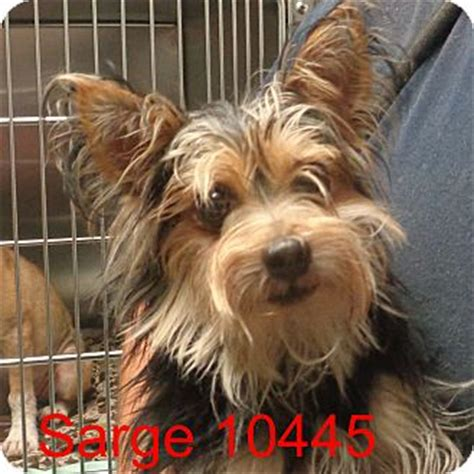 yorkie shih tzu mix for adoption baltimore md yorkie terrier shih tzu mix meet sarge a for adoption