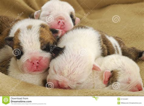 one week puppies one week puppies royalty free stock photography image 21124467