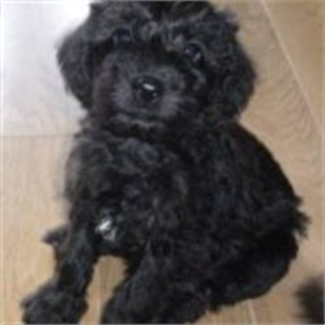 schnoodle puppies for sale only 2 remaining malpas cheshire schnoodle puppies for sale iloveschnoodles com