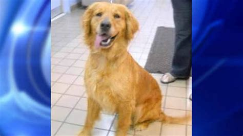 golden retrievers in turkey abandoned golden retrievers from turkey arriving at jfk international airport abc7ny