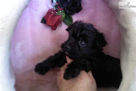 yorkie poo puppies louisville ky maltese puppies sale paducah ky breeds picture