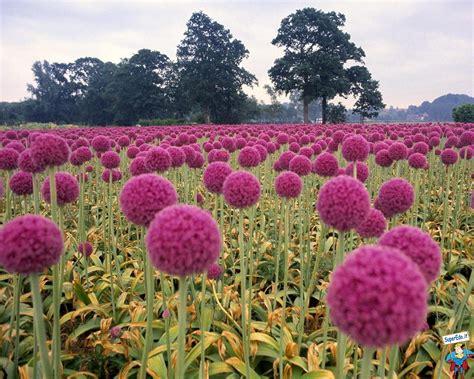 immagini di prati fioriti sfondi prati fioriti 42 sfondi in alta definizione hd