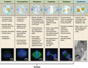 Break Letter Between Plant And Animal Cell the mitotic phase and the g0 phase