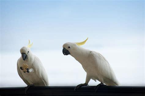 what do cracker beak birds eat free stock photo 4254 cockatoos freeimageslive