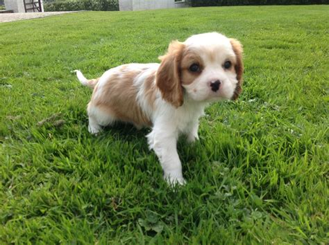 cavalier puppies cavalier king charles puppies carmarthen carmarthenshire pets4homes