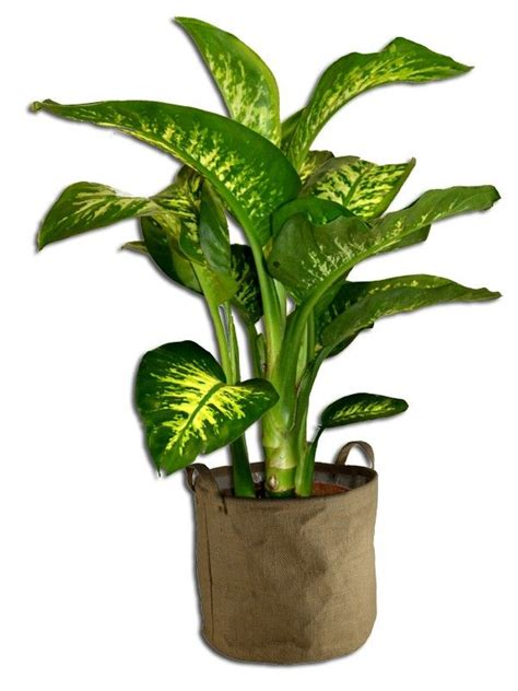 Plante Purificatrice D Air by Plante D Interieur Dieffenbachia Deco Terrasse