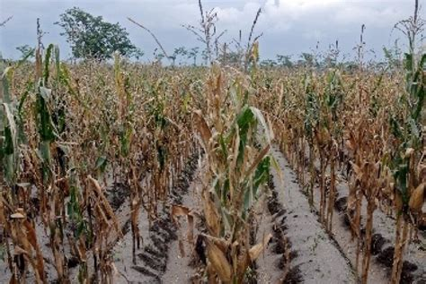 Bibit Jagung Nk 212 mentan inginkan jeneponto jadi sentra produksi jagung di