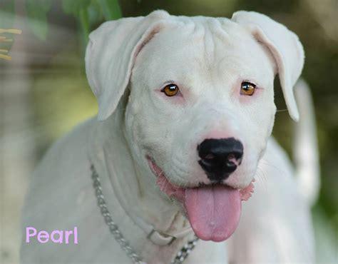pearl dogs fall into october sarasota