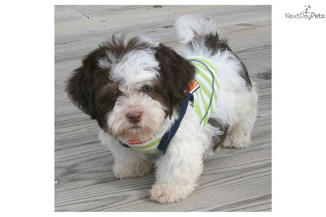 brown and white havanese puppies brown and white havanese puppies www imgkid the image kid has it