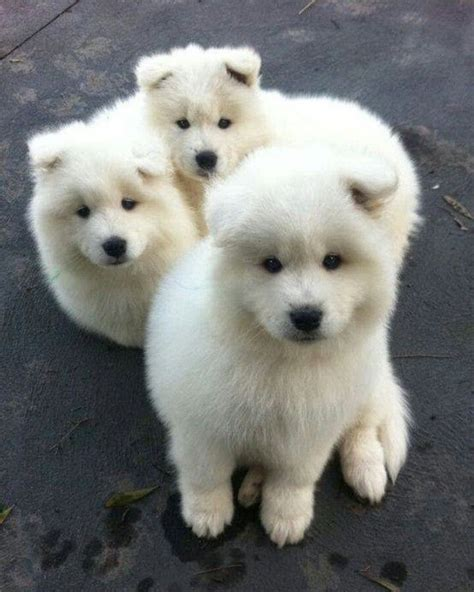 siberian samoyed puppies siberian samoyed puppies i want you so bad