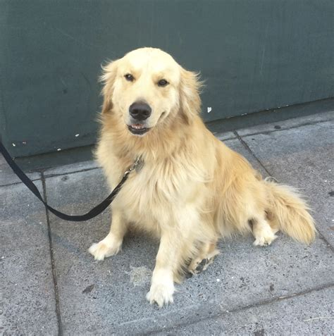 golden retriever san francisco of the day golden retriever the dogs of san franciscothe dogs of san francisco