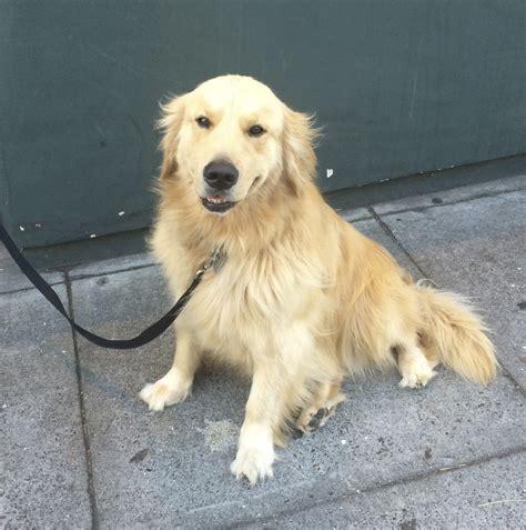 golden retriever puppies san francisco of the day golden retriever the dogs of san franciscothe dogs of san francisco