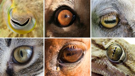 Car Wired Frog Eye View eye shapes of the animal world hint at differences in our