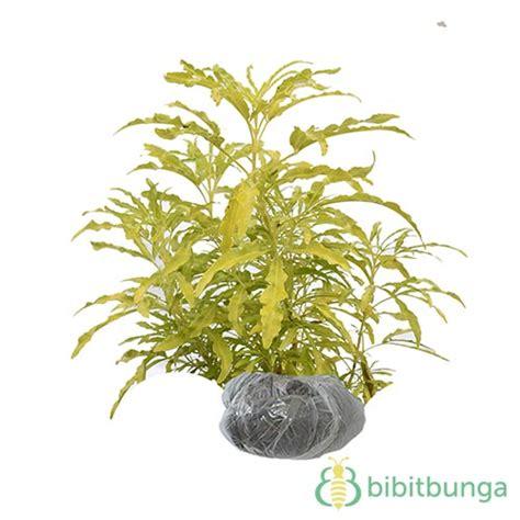 tanaman brokoli kuning bibit bunga