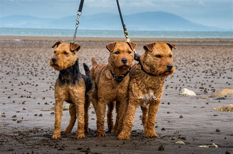 The Lakeland terrier: 'a hard-working handful' - Country Life