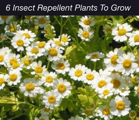 repellent plants 6 bug repellent plants to grow homestead survival