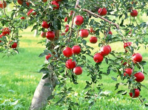 growing fruit trees fruit trees that grow well in calgary