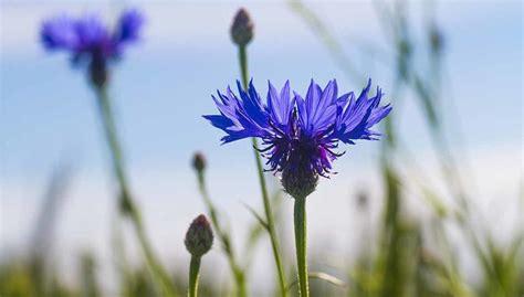fiore fiordaliso conosciamo il fiore di fiordaliso eurogiardinaggio