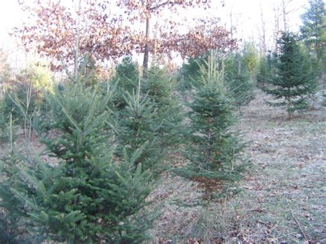 cut your own christmas tree in the lehigh valley upper