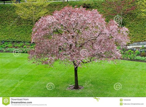 cherry tree wisnie w czekoladzie cherry tree blossom stock photo image of flora flower 13532046
