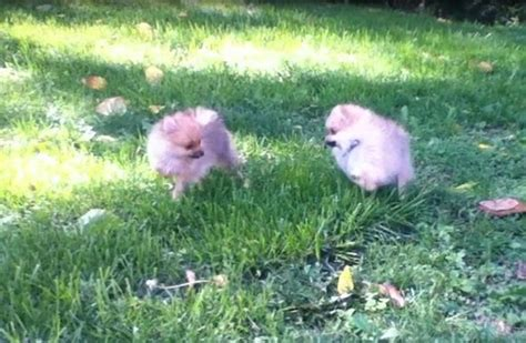 lulu pomeranian pomeranians images lulu and libby hd wallpaper and background photos 32675943