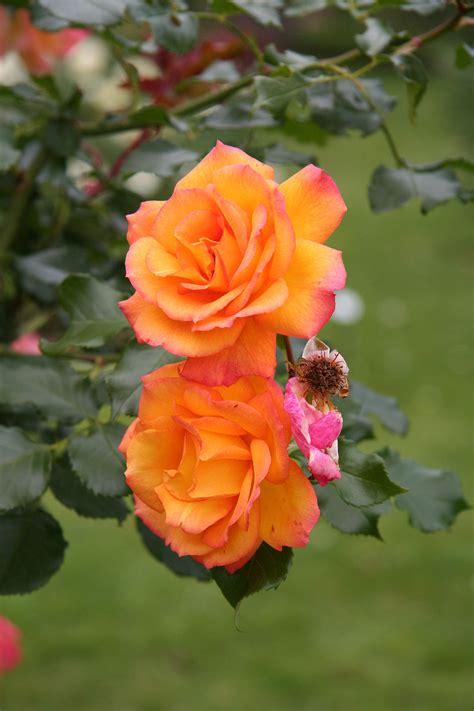 rosa sahara wikimedia commons