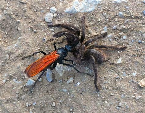 imagenes de avispas rojas avispa caza tar 225 ntulas pepsini naturaleza ins 243 lita
