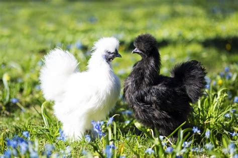 backyard chicken breeds raising backyard chickens chicken breeds