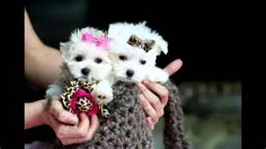 small teacup dogs we all dogs breeds small dogs teacup dogs bred dogs mixed breed dogs