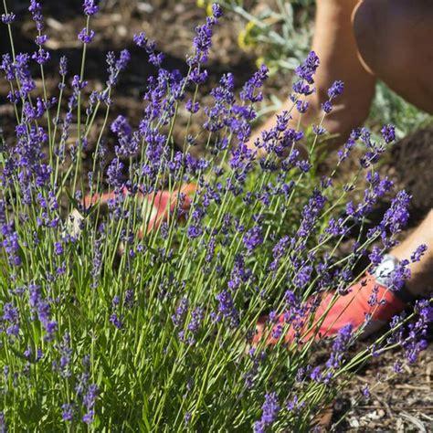 Garten Lavendel Pflanzen by Lavendel Pflanzen So Funktioniert S Brigitte De