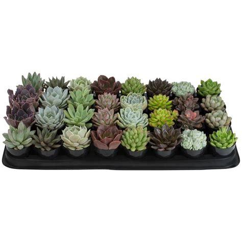 altman plants   echeveria collection plant  pack